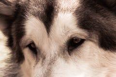 心爱的狗的忠实的眼睛 免版税库存照片