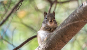 心爱,春天红松鼠,关闭和看照相机 免版税库存照片