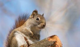 心爱,春天红松鼠,关闭和看照相机 免版税图库摄影