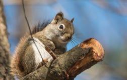 心爱,春天红松鼠,关闭和看照相机 库存照片