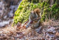 心爱,春天红松鼠,关闭,坐直在一棵北安大略杉树的基地和吃从a的种子 图库摄影