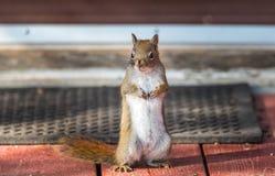 心爱,春天红松鼠,关闭,站起来在甲板,爪子卷起了对胸口 免版税库存照片