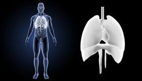 心脏、肺和膜片迅速移动有器官先前视图 免版税库存照片