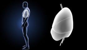 心脏、肺和膜片迅速移动有身体侧面视图 库存照片
