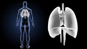 心脏、肺和膜片迅速移动有身体后部视图 图库摄影