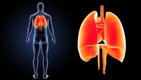 心脏、肺和膜片迅速移动有身体后部视图 免版税库存照片