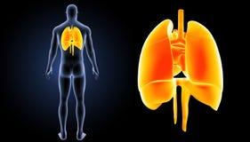 心脏、肺和膜片迅速移动有身体后部视图 库存图片