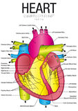 心脏先前视图图与零件名的 皇族释放例证