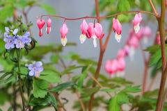 心脏出血花(荷包牡丹属植物spectabilis) 免版税库存图片