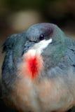 心脏出血鸽子 库存图片