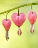 心脏出血 库存图片