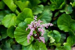 心脏叶子岩白菜属岩白菜属cordifolia 免版税库存照片