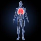 心脏和呼吸系统有解剖学先前视图 库存图片