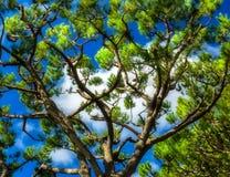 心脏常青树的Shapped样式分支剪影 免版税库存图片