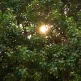 心脏形树 图库摄影