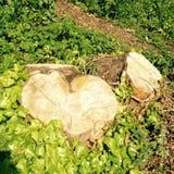 心脏树桩 图库摄影