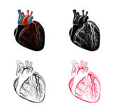 心脏的解剖学 免版税库存照片