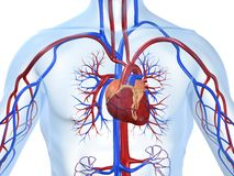 心血管系统 库存图片