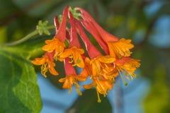 忍冬属植物布朗 库存图片