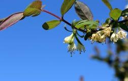 忍冬属植物开花小树枝  库存图片