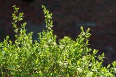 忍冬属植物开花春天西伯利亚太阳 库存照片