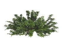 忍冬属植物忍冬属pileata privet 库存例证