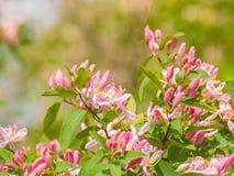 忍冬属植物忍冬属tatarica细节,桃红色开花进展 图库摄影