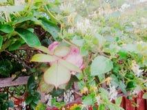 忍冬属植物掩藏的山茶花1 免版税库存图片