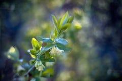 忍冬属植物春天花在黎明柔和的太阳的 库存照片