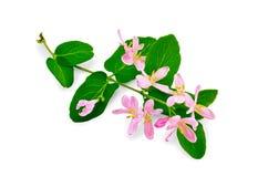 忍冬属植物有桃红色花的一根枝杈 免版税库存照片