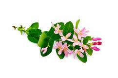 忍冬属植物粉红色 库存照片