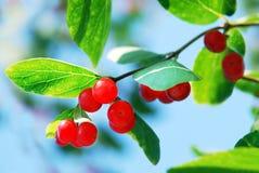 忍冬属植物红色莓果  库存图片