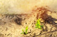 忍冬属植物绿色年轻新芽在地面,特写镜头,春天,宏指令的概念增长 免版税库存照片