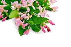 与桃红色花的忍冬属植物 免版税库存图片