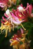 忍冬属植物 图库摄影