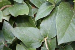 忍冬属植物 库存图片