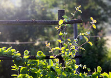 忍冬属植物 免版税库存图片