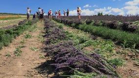 志愿者收获淡紫色 股票录像