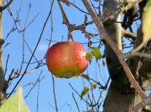 忘记在一个收获苹果计算机在果树园,早晨在雨以后射击了 免版税库存图片