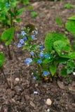 忘记我没有,小蓝色花和绿色叶子,花背景 库存图片