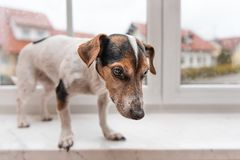 忠实,但是哀伤的狗在长凳站立和看得下来 免版税库存图片