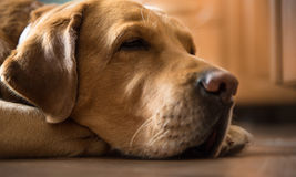 忧郁成人金黄棕色拉布拉多睡着在家庭厨房 库存照片