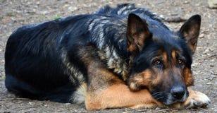 忧郁的德国牧羊犬 免版税图库摄影