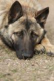 忧郁的狗 免版税库存图片