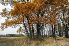 忧郁的秋天风景 几乎不生叶的老橡木树丛在一个多云晚上 免版税库存照片