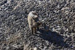 快乐时光在泥地板上的婴孩野公猪 免版税库存图片