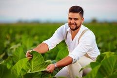 快乐的农庄主检查在农田的烟草叶子 免版税库存照片