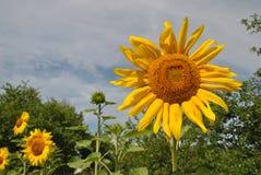 快乐的向日葵、喜悦的标志,幸福和乐趣 在清楚的蓝色夏天天空背景的Ð ¡ olorful向日葵 库存图片