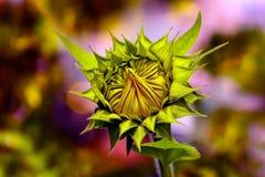 快乐的向日葵芽在阳光下 免版税图库摄影