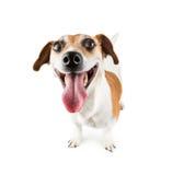 快乐的微笑的狗 免版税库存图片